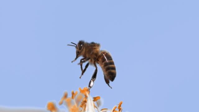 vídeos y material grabado en eventos de stock de abeja europea, apis mellifera, abejas en vuelo, forrajeo flor, polinización ley, normandía, lenta 4k - bee