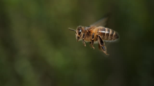 European Honey Bee, apis mellifera, Bee in Flight, Normandy, Slow motion 4K video