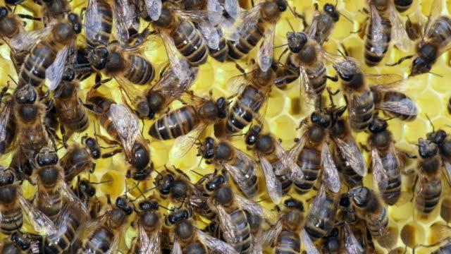 europäische honigbiene, apis mellifera, bienen auf eine brut frame, königin in der mitte,, bee hive in der normandie, real-time 4k - inneres organ eines tieres stock-videos und b-roll-filmmaterial