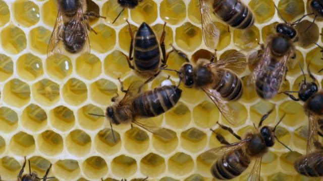 europäische honigbiene, apis mellifera, bienen auf einem gestell mit nektar, bee hive in der normandie, real-time 4k - inneres organ eines tieres stock-videos und b-roll-filmmaterial