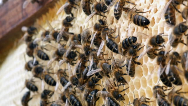 europäische honigbiene, apis mellifera, bienen auf ray, bienen arbeiten an alveole, normandie, real-time 4k - inneres organ eines tieres stock-videos und b-roll-filmmaterial