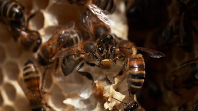 honigbiene, apis mellifera, bienen arbeiten auf einem wilden ray alveole gefüllt mit honig, normandie, reel mal 4k - inneres organ eines tieres stock-videos und b-roll-filmmaterial
