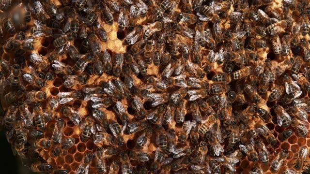 honigbiene, apis mellifera, bienen arbeiten an einem wilden ray, natürliche brut, normandie, reel time 4k - inneres organ eines tieres stock-videos und b-roll-filmmaterial