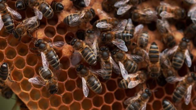 honigbiene, apis mellifera, bienen arbeiten auf eine wilde ray, natürliche brut bee nichtstun lüftung, normandie, reel time 4k - inneres organ eines tieres stock-videos und b-roll-filmmaterial