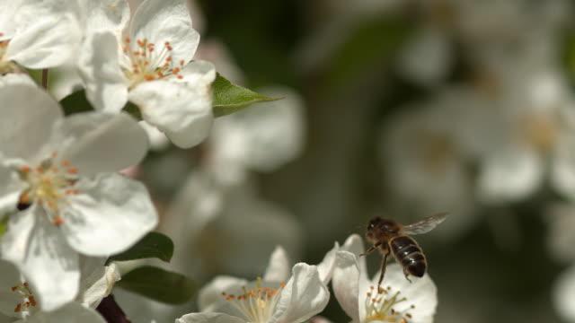 europeiska honungsbiet, apis mellifera, svart bi födosök en apple blomma pollinering act, normandie, reel tid - äppelblom bildbanksvideor och videomaterial från bakom kulisserna