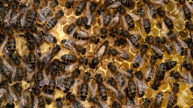 europäische honigbiene, apis mellifera, schwarzen bienen auf einem brut rahmen, königin in der mitte, bee hive in der normandie, real-time 4k - inneres organ eines tieres stock-videos und b-roll-filmmaterial