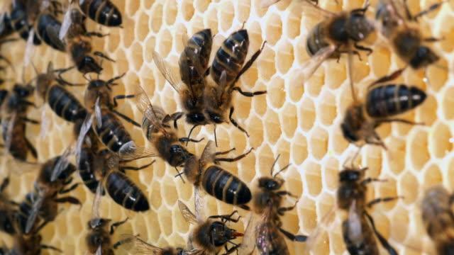 europäische honigbiene, apis mellifera, schwarzen bienen auf einem honig-rahmen, bee hive in der normandie, real-time 4k - inneres organ eines tieres stock-videos und b-roll-filmmaterial