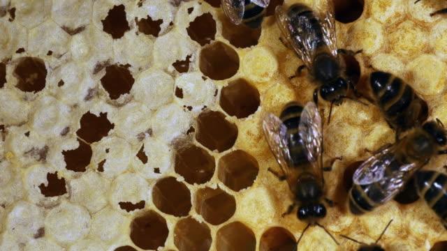 europäische honigbiene, apis mellifera, schwarzen bienen auf ray, brut frame: die bienen den honig zu verschieben zu machen, eine brut, bee hive in der normandie, real-time 4 k entfernen - inneres organ eines tieres stock-videos und b-roll-filmmaterial