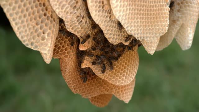 europäische honigbiene, apis mellifera, schwarzen bienen auf einer wilden ray alveole gefüllt mit honig, bee hive in der normandie, real-time 4k - inneres organ eines tieres stock-videos und b-roll-filmmaterial