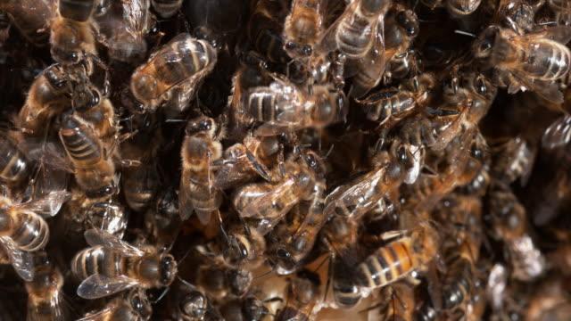 europäische honigbiene, apis mellifera, schwarzen bienen auf einer wilden ray, bee hive in der normandie, real-time 4k - inneres organ eines tieres stock-videos und b-roll-filmmaterial