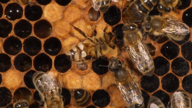 europäische honigbiene, apis mellifera, arbeiter, sondert wachs und leckt das fenster, bee hive in der normandie, real-time 4k - inneres organ eines tieres stock-videos und b-roll-filmmaterial