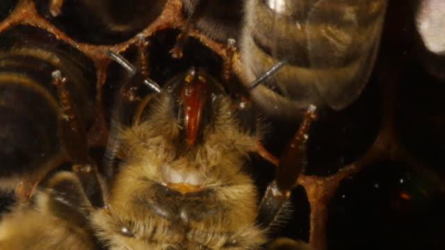 europäische honigbiene, apis mellifera, biene, von unten gesehen, nahaufnahme des kopfes, bee hive in der normandie, real-time 4k - inneres organ eines tieres stock-videos und b-roll-filmmaterial