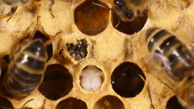 europäische honigbiene, apis mellifera, die biene schneidet die kiemendeckel vor entstehung,, bee hive in der normandie, real-time 4k - inneres organ eines tieres stock-videos und b-roll-filmmaterial