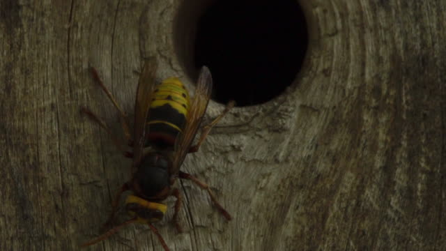 europäische hornisse (vespa crabro) - naturschutzgebiet astrachan - hornisse stock-videos und b-roll-filmmaterial