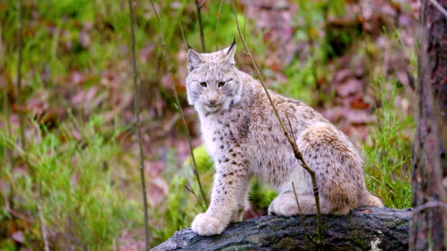 European lynx cat cub sits in the autumn forest video