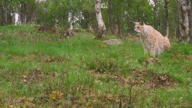 ormanda bir yaz akşamı avrupa lynx avcılık - etçiller stok videoları ve detay görüntü çekimi