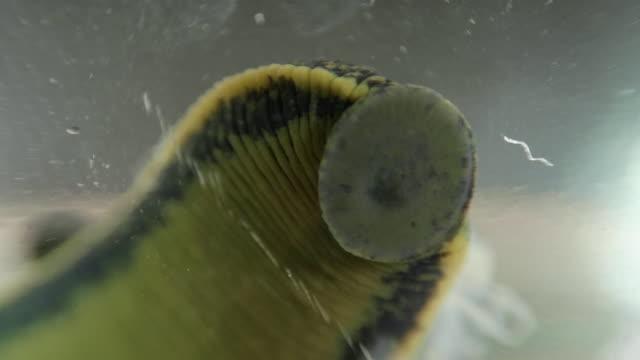 European medicinal leech float in the bank video