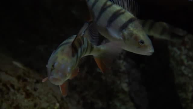 europäischer barsch - perca fluviatilis. unterwasser-schuss von reifen barsch fische auf dem flussboden ruhen. süßwasser-raubfischjagd für kleinere fische - süßwasser stock-videos und b-roll-filmmaterial