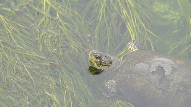 tartaruga stagno europea (emys orbicularis) - azerbaigian - acqua dolce video stock e b–roll