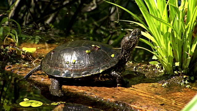 European pond turtle sitting on a tree in water European pond turtle sitting on a trunk tree in water in marsh summer lake tortoise shell stock videos & royalty-free footage