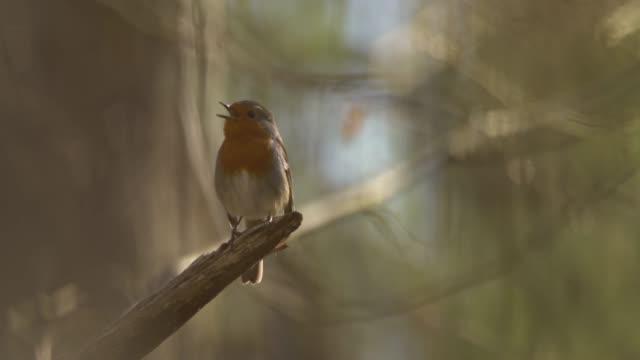 vídeos y material grabado en eventos de stock de petirrojo europeo (erithacus rubecula) - pájaro