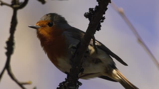 European robin (Erithacus rubecula) video