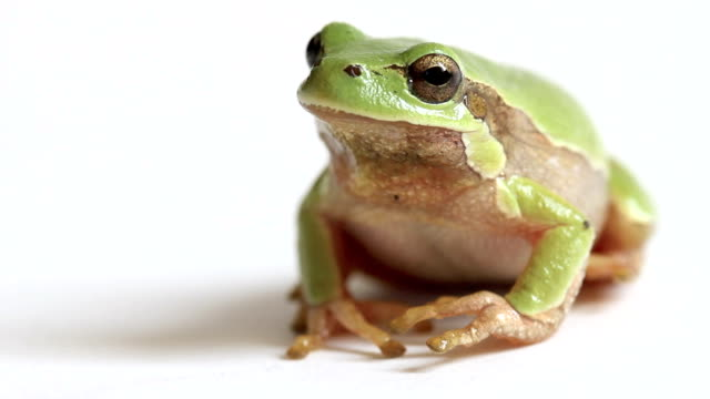 European Tree Frog Jumping Away from Screen An italian tree frog isolated on white, jumping away from the screen frog stock videos & royalty-free footage
