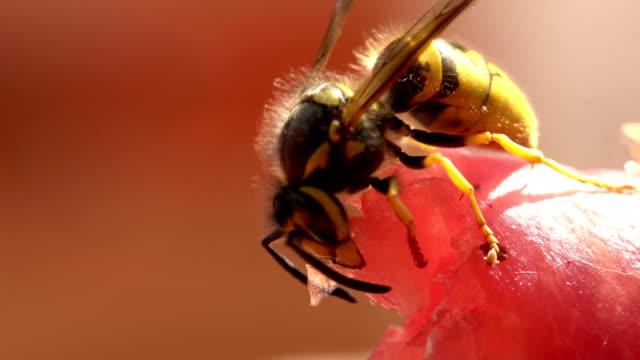 europäische wespe schneiden ein stück fleisch in nahaufnahme - wespe stock-videos und b-roll-filmmaterial