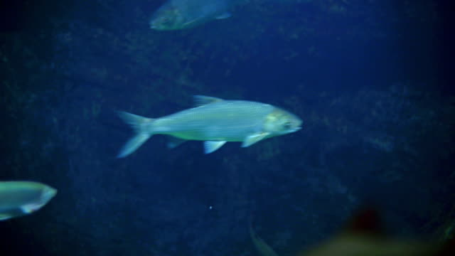 European whitefish against blue background video