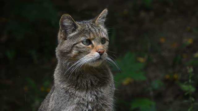 Retrato de gato montés Europeo de cerca - vídeo