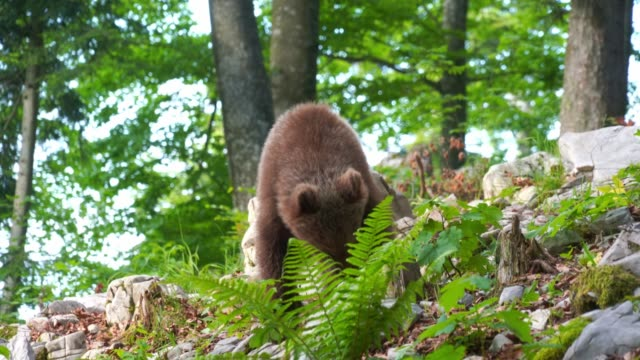 European young brown bear wild in the forest in Slovenia