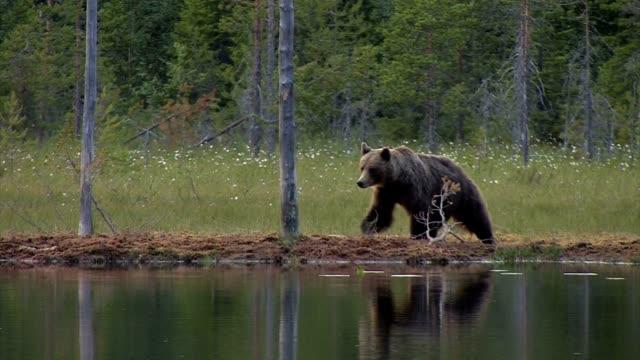 Europäischer Braunbär - Ursus arctos arctos - Eurasian brown bear video