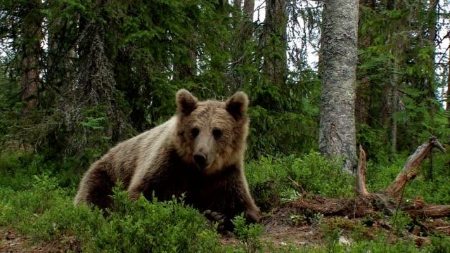 ユーロぺッシャー braunbär-ursus arctos arctos -ヨーロッパヒグマ - クマ点の映像素材/bロール