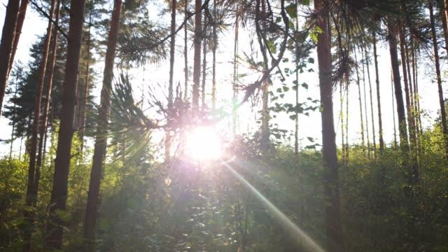 abendwald. die sonne im wald. grüner wald. - baumgruppe stock-videos und b-roll-filmmaterial