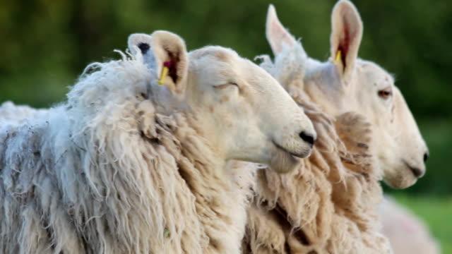 Evening Sheep video