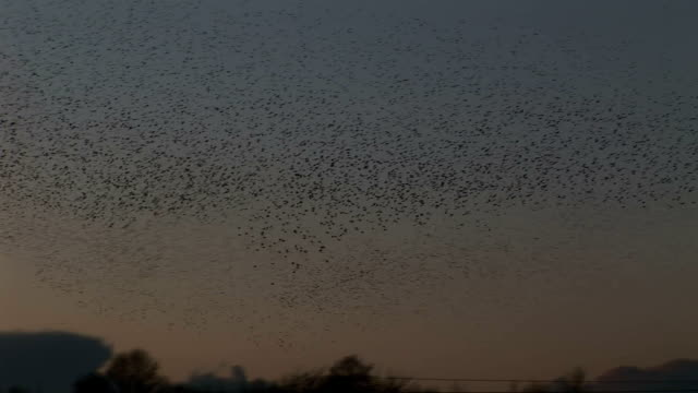 Evening sky of thousands of birds making shapes in sky video
