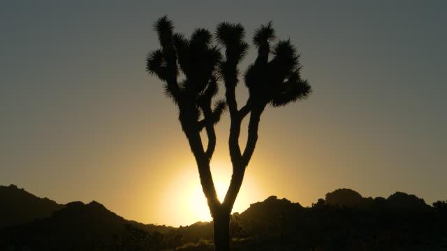 sun flare:カリフォルニア砂漠の深いジョシュアの木に夕日の太陽光が輝く - ジョシュアツリー国立公園点の映像素材/bロール