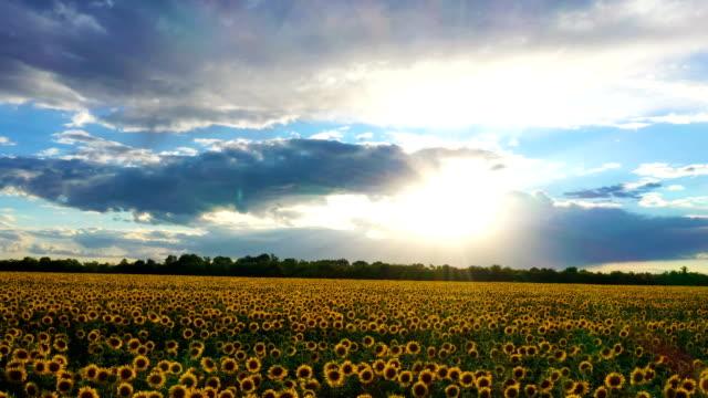 花の空中眺めの時の夕ヒマワリ畑 - ヒマワリ点の映像素材/bロール