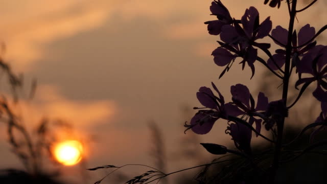 Evening sunset against background of flowers in the clearing. The sky is at sunset.