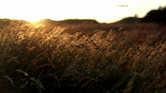 Evening Sunset in the Nature Close up of wild grasses at sunset, small depth of field denmark stock videos & royalty-free footage