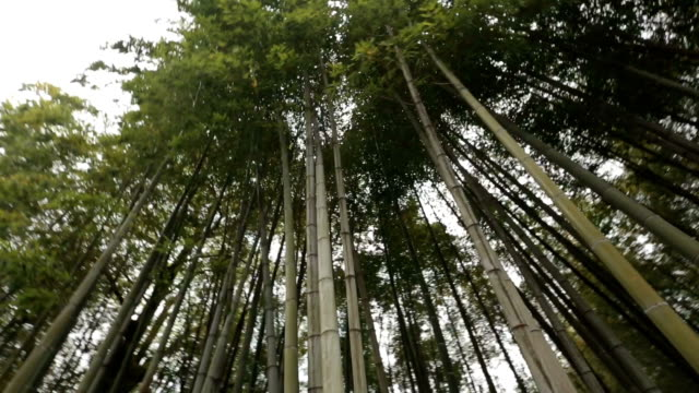 Evergreen bamboo plants bottom view, rest in park, tropical climate plants Evergreen bamboo plants bottom view, rest in park, tropical climate plants zoology stock videos & royalty-free footage