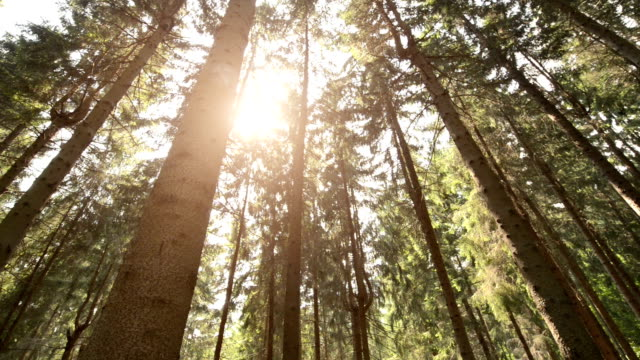 foresta sempreverde video hd - sustainability video stock e b–roll