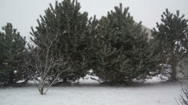 Evergreen Trees in Snow Storm video