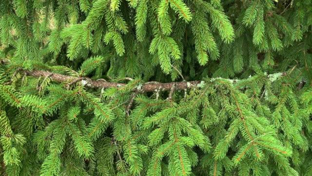 Evergreen Twig