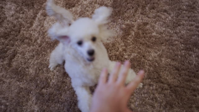 Excited white poodle running and jumping around her pet owner a little girl