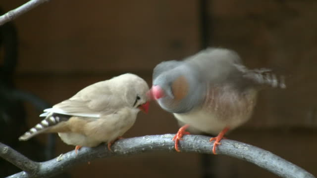 Zebra Finch Stock Videos and Royalty-Free Footage - iStock