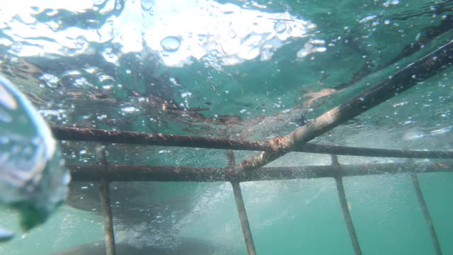 exciting cage shark diving, shark hitting cage dangerous - tuffarsi video stock e b–roll