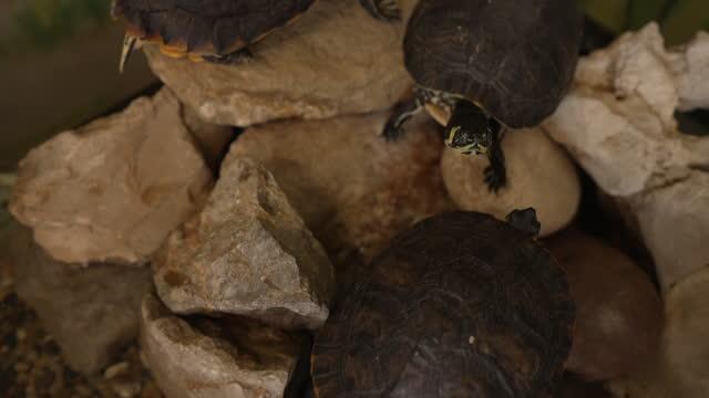 Excotic turtles, having a symbiotic relationship at the aquarium