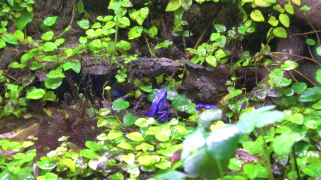 exotic Blue poison frog in wet rainforest exotic Blue poison frog in wet rainforest frog stock videos & royalty-free footage