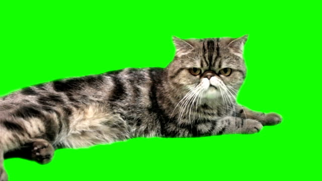 exotic cat cat on a green background environmental conservation stock videos & royalty-free footage